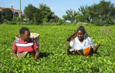 Wanja e Phyllis recolhem chá em Maramba Tea Estate, muito próximo de Kimlea