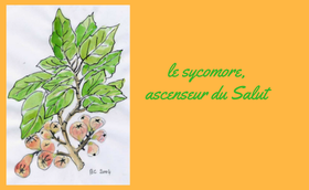 Le sycomore, ascenseur du Salut