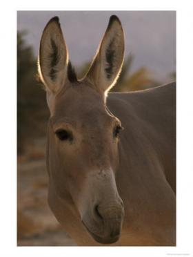 Colinda <i>Little Donkey</i>