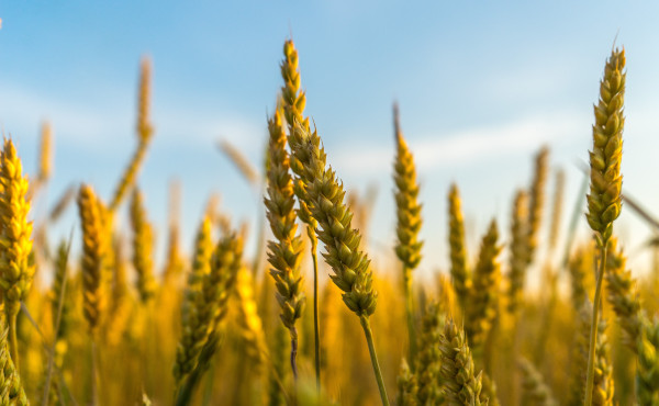 Opus Dei - Commentary on the Gospel: The Wheat and the Weeds