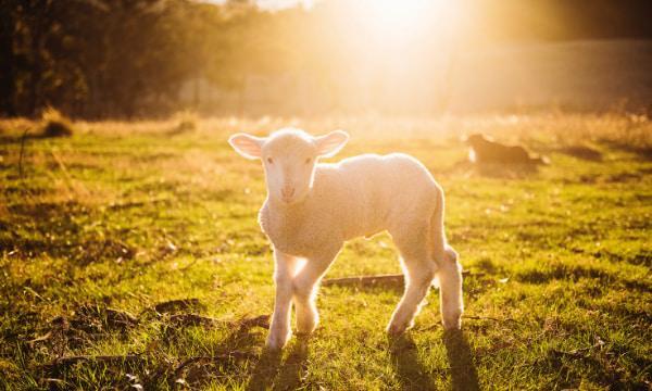 Comentário do evangelho: A ovelha perdida