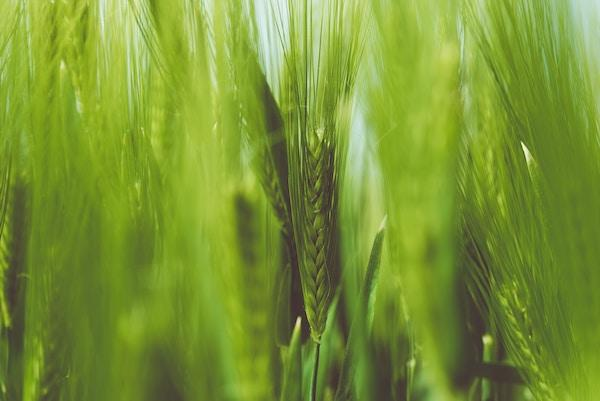 Opus Dei - The Wheat and the weeds St Raphael Meditation (19 July 2020)