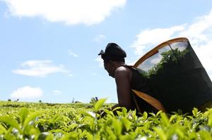 "Ekonomski uzlet ''robova plantaža čaja"""