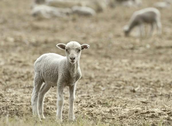 Opus Dei - Povratak u ovčinjak