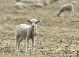 Povratak u ovčinjak