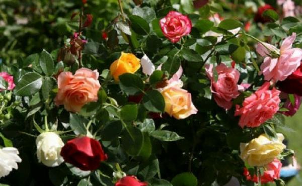 Por entre as rosas beijar a Cruz