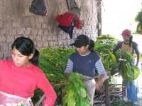 Mujeres encañando hojas de tabaco en El Bordo, Salta