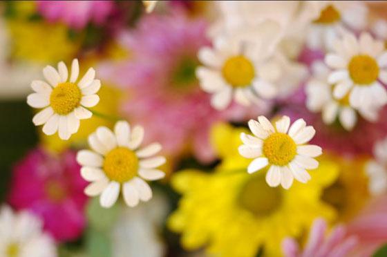 En Chile, es costumbre en los hogares cristianos armar un pequeño altar con flores en honor a la Virgen.