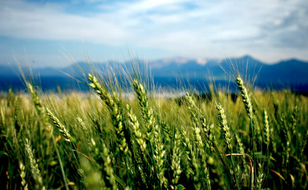 Kevin Jaako - Wheat fields