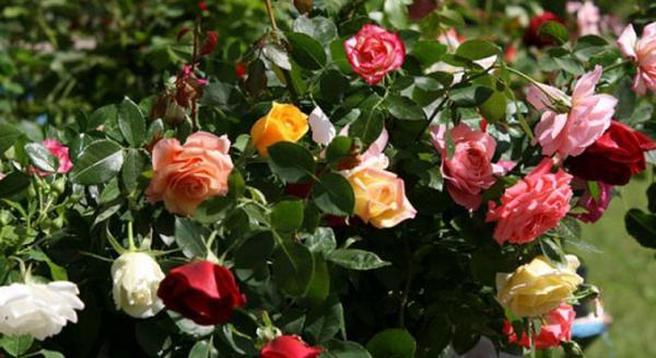 Parmi les roses, embrasser la Croix