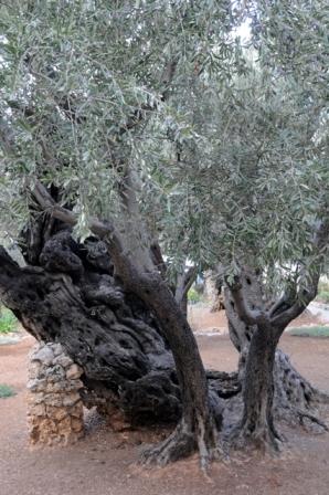 L'origine des huit oliviers les plus vieux de Gethsémani est censée remonter au  premier millénaire. signé: Leobard Hinfelaar.