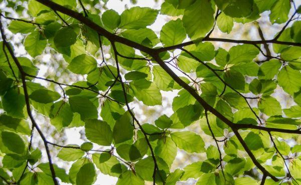 Sotto l'albero di fico